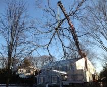 Tree work in Rye