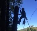 Birch Tree Removal
