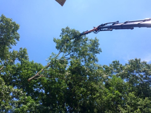 Another Successful Oak Tree Removal